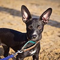 Adopt A Pet :: Black Jack - Orange, CA