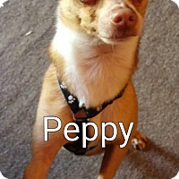 Adopt A Pet :: Peppy - Encinitas (San Diego), CA