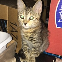 Bengal Kitten for adoption in Sunny Isles Beach, Florida - Annie
