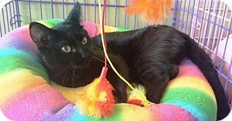 Domestic Shorthair Cat for adoption in Fenton, Missouri - BOB