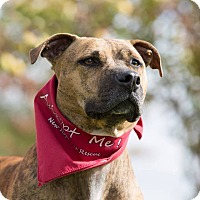 Pit Bull Terrier Mix Dog for adoption in Laingsburg, Michigan - Nallie