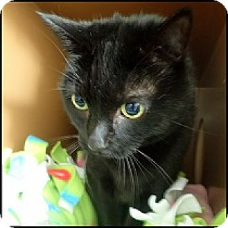 Domestic Shorthair Cat for adoption in Colorado Springs, Colorado - Bandit