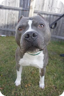 Pit Bull Terrier Mix Dog for adoption in Mansfield, Massachusetts - Travis