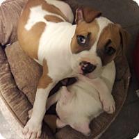 Adopt A Pet :: Chewie - Hainesville, IL