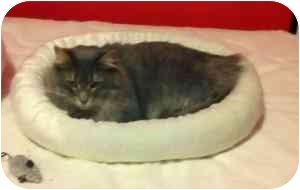 Domestic Longhair Cat for adoption in Manalapan, New Jersey - Fiona