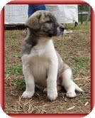 Bearded Collie/Labrador Retriever Mix Puppy for adoption in Hagerstown, Maryland - Lara