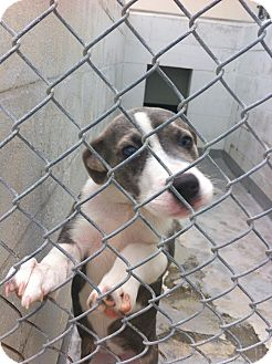Pit Bull Terrier Mix Puppy for adoption in Gainesville, Florida - Mika
