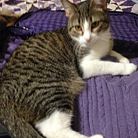 Domestic Shorthair Cat for adoption in St. Louis, Missouri - Cecily