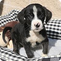 Adopt A Pet :: Keebler - Norwalk, CT