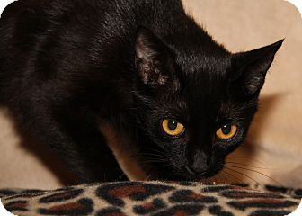 Bombay Cat for adoption in Marietta, Ohio - Fancy (Spayed)