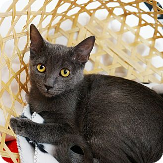 Russian Blue Kitten for adoption in Montclair, California - Lexxy