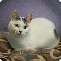 Domestic Shorthair Cat for adoption in Freeport, New York - Lucy