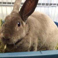 Mini Rex Mix for adoption in Moneta, Virginia - Shay