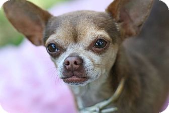 Chihuahua Mix Dog for adoption in Studio City, California - Raquel ~ One of a kind!