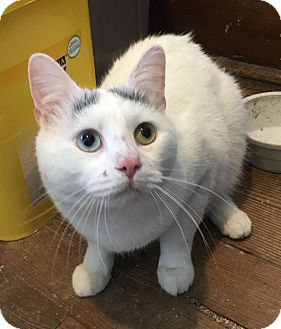 American Shorthair Cat for adoption in Greensburg, Pennsylvania - Kitty Boy