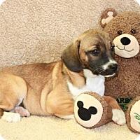 Adopt A Pet :: Oprah - Salem, NH