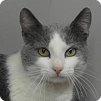 Adopt A Pet :: Shamrock - Fairfax, VA