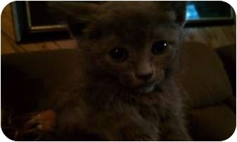 American Shorthair Kitten for adoption in New Egypt, New Jersey - Amelia