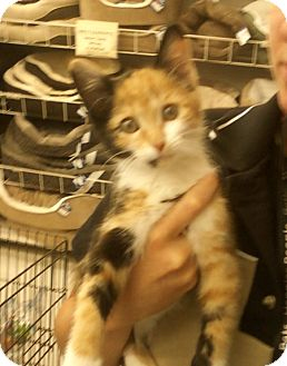 Domestic Shorthair Kitten for adoption in Troy, Ohio - Camile