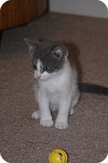 Domestic Shorthair Kitten for adoption in East Hanover, New Jersey - Grayson and Wilson