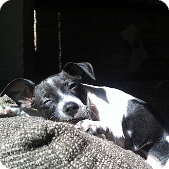 Rat Terrier/Chihuahua Mix Puppy for adoption in Chicago, Illinois - EDIE