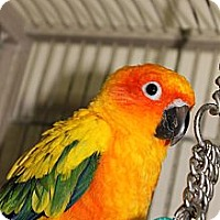 Adopt A Pet :: Sunny - St. Louis, MO