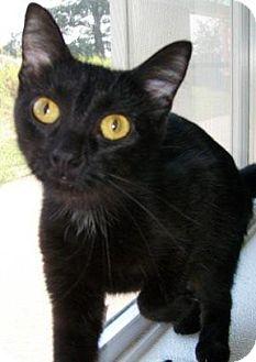 Domestic Shorthair Kitten for adoption in Waupaca, Wisconsin - Kiska