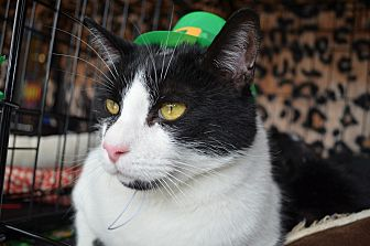 Domestic Shorthair Cat for adoption in Greer, South Carolina - Pongo and Mickey