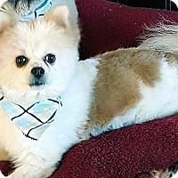 Adopt A Pet :: TYE - Winnetka, CA
