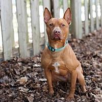 Adopt A Pet :: Lando - Armonk, NY