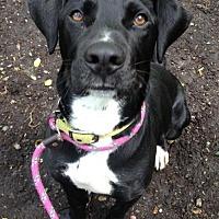 Adopt A Pet :: Trigger - Rockaway, NJ