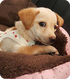 Jindo Mix Dog for adoption in Litchfield Park, Arizona - Chloe