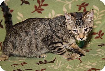 Domestic Shorthair Cat for adoption in Marietta, Ohio - O'Malley (Neutered)