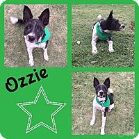 Adopt A Pet :: Ozzie (terrier) - Snyder, TX