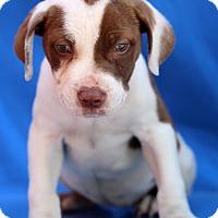 Adopt A Pet :: Orianna - Waldorf, MD