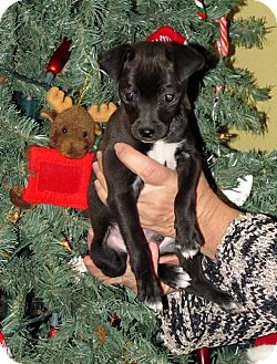 Chihuahua/Chihuahua Mix Puppy for adoption in Phoenix, Arizona - SPECKLE