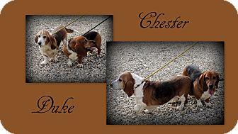 Basset Hound Dog for adoption in Hammond, Louisiana - Chester