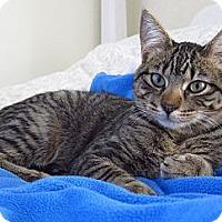 Adopt A Pet :: Saba - Roseville, MN