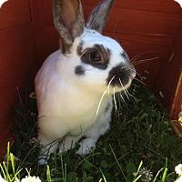 Adopt A Pet :: Daphne - Portland, ME