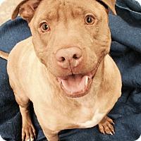 Adopt A Pet :: Indigo - Lake Odessa, MI