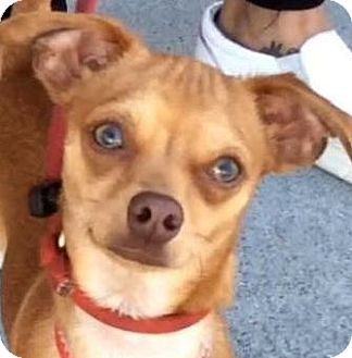 Chihuahua Mix Dog for adoption in Los Angeles, California - POCKET (video)