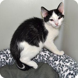 Domestic Shorthair Kitten for adoption in Wheaton, Illinois - Lightening