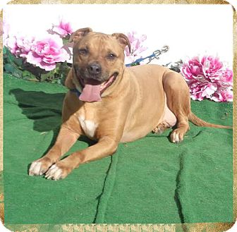 Boxer Mix Dog for adoption in Marietta, Georgia - BRUCE WAYNE