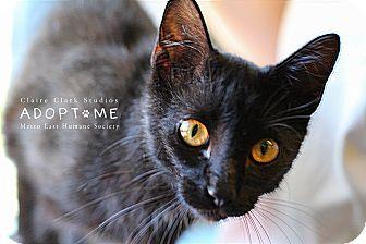 Domestic Shorthair Cat for adoption in Edwardsville, Illinois - Ichibod