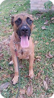 Mastiff Mix Dog for adoption in Killeen, Texas - Skippy