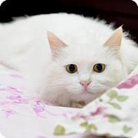 Turkish Angora Cat for adoption in Flagstaff, Arizona - Amy the Super-Cat