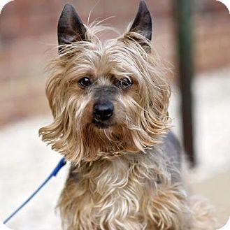 Yorkie, Yorkshire Terrier Mix Dog for adoption in Richmond, Virginia - Reece