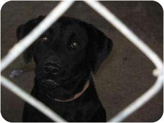 Labrador Retriever Dog for adoption in Altmonte Springs, Florida - Stevie