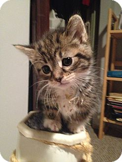 Domestic Shorthair Kitten for adoption in Chicago, Illinois - Emmie