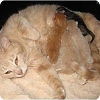 Adopt A Pet :: Stormy's kittens - Jeffersonville, IN